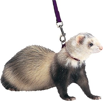 Marshall Harness Amp Lead Ferret Leash Black Chewy Com