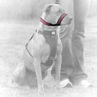 Kurgo Snout About Dog Strap, Raspberry, Small