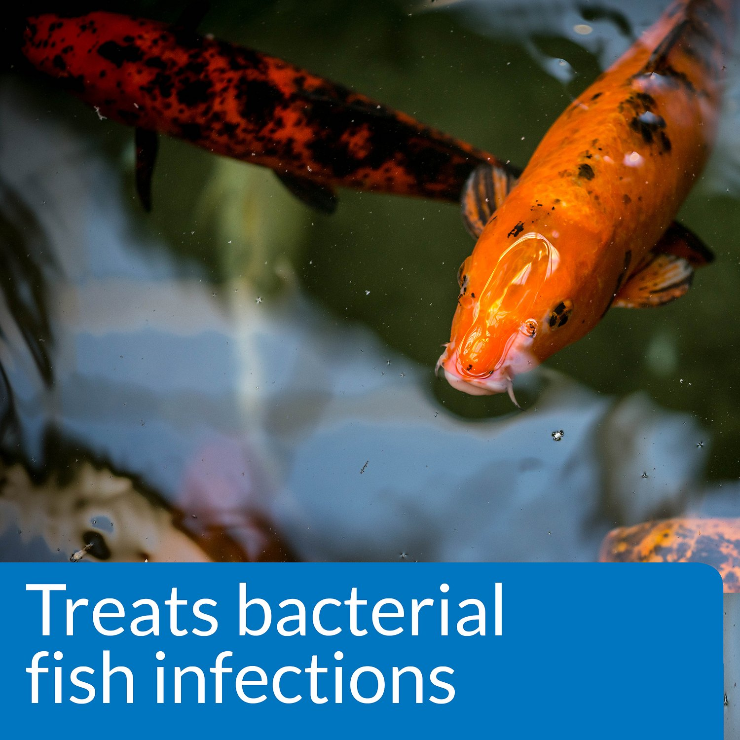 Api pond melafix for bacterial infections in fish 64 oz for Fish bacterial infection