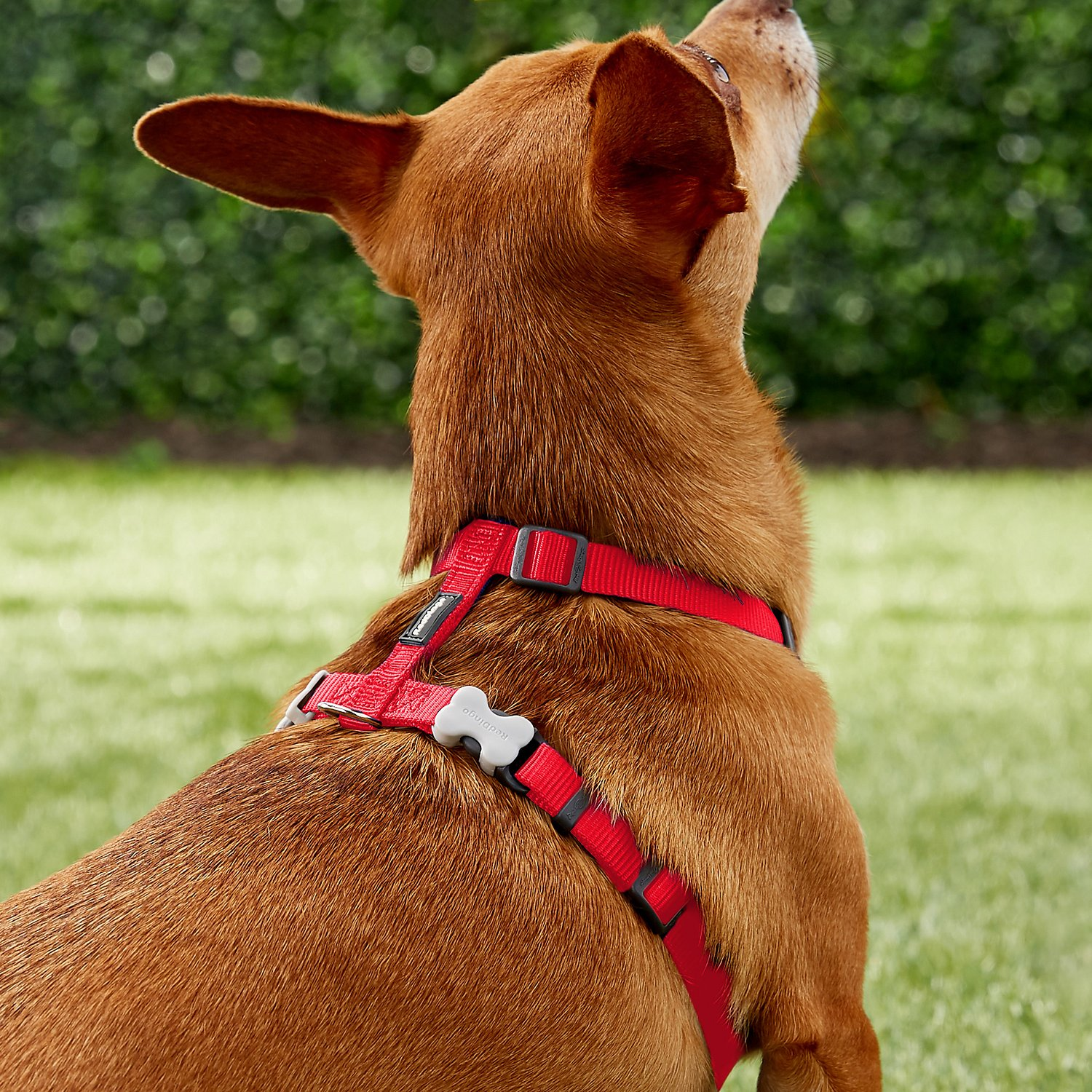 Pt Ac Sl V on Red Dingo Dog Harness